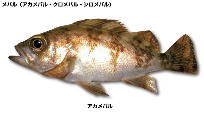 メバル(アカメバル・クロメバル・シロメバル)