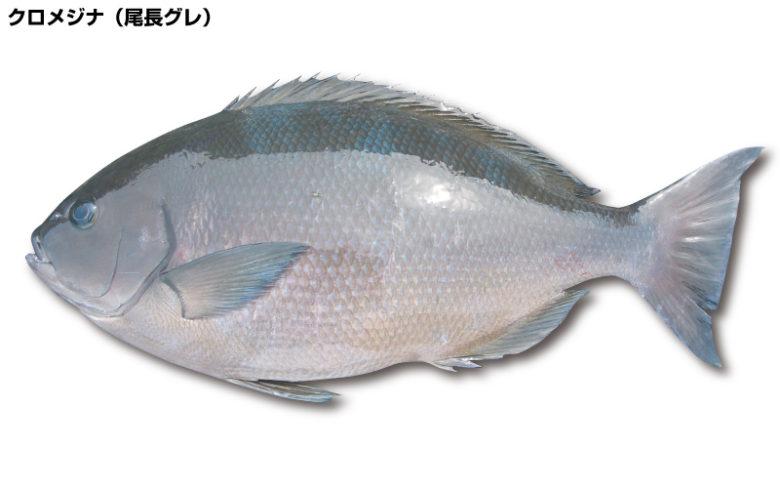 クロメジナ(尾長グレ)